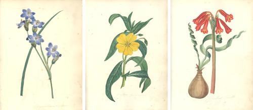 Botanical Drawings by Luke Linnaeus Pope