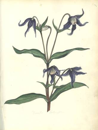Botanical Drawings by Luke Linnaeus Pope, c.1825 (Ref: MS 2138)