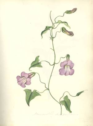 Botanical Drawings by Luke Linnaeus Pope, c.1825 (Ref: MS 2138)